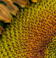 sunflower-quarter (Linda W (OPS)) Tags: allotment ccmac