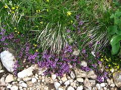 Asiago2009 (fedepof) Tags: flowers mountain asiago