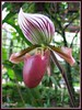 Paphiopedilum barbatum (Slipper Orchid)