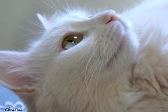 >^-^< ILUMINADA (Aline Ros@) Tags: animal branco cat feline gato felino challengeyouwinner