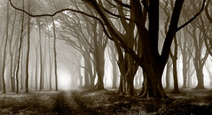 Trees in the Mist, Northumberland (welshio) Tags: travel autumn trees bw mist nature mo
