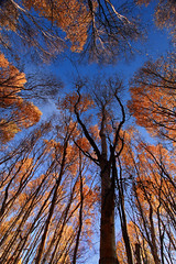 Fall Birch Trees (Wolfhorn) Tags: blue autumn trees sky fall nature leaves alaska falling birch