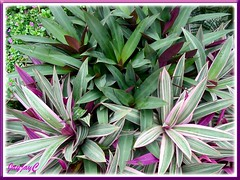 Tradescantia spathacea 'Hawaiian Dwarf' and behind is T. spathacea or Rhoea Discolor (Oyster Plant, Wandering Jew, Moses-in-the-basket)