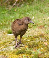 Weka chick