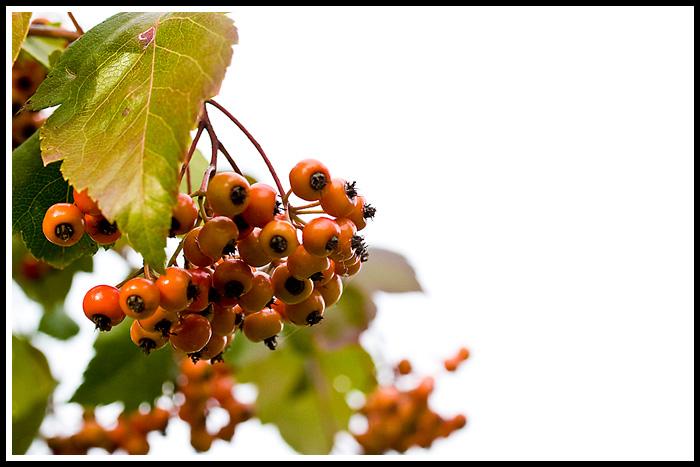 still_life_ash_tree