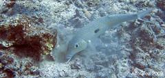 Goatfish (Kona, Hawaii, USA. Oct-2009) (alfonsator) Tags: ocean fish canon hawaii underwater pacific scuba diving powershot kona pacifico buceo oceano submarino goatfish g9 salmonete ikelite alfonsator