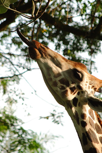 giraffe licking from the tree