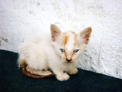 this cat gave me fleas..well what did i expect (maesphotos) Tags: cute abandoned cat rat kitten tail small fluffy tiny stray sick mongrel kittenmagazine friendsofzeusphoebe