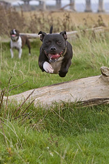 Harvey Jump 02 (Wayner Cullinaner) Tags: willow staffordshirebullterrier staffy staffies waynercphotography