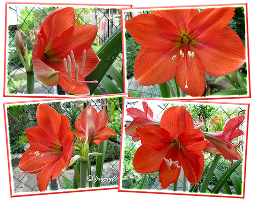 Collage showing various captures of our scarlet-coloured Hippeastrum
