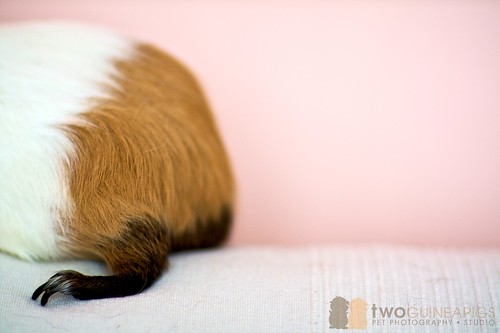 wiggley the guinea pig leaving the frame