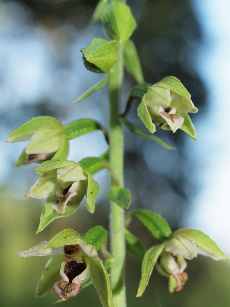 Epipactis helleborine ssp. helleborine (48°29' N 14°45' E)