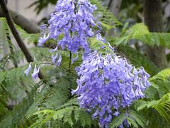 Green ebony (ddsnet) Tags: flowers plant sony cybershot jacaranda    cybershor greenebony  greenebonyjacaranda    hx100v