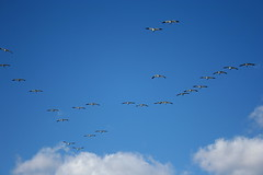 Snow Geese (maudified) Tags: winter jamaicabay snowgeese