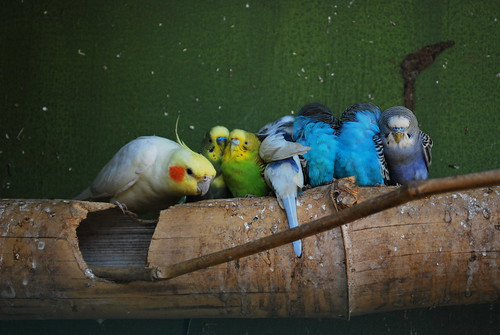 Budgies / Harsha K R