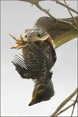 Silent killer (hvhe1) Tags: africa nature animal southafrica bravo searchthebest reptile snake wildlife venomous venom timbavati predation boomslang interestingness14 tandatula specanimal snakephotography hvhe1 hennievanheerden dispholidustypus fantasticwildlife vosplusbellesphotos