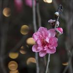 Hoa đào, Tết