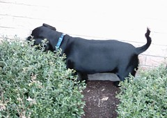Hunting Bunnies (gurdonark) Tags: dog black small hunting puggle