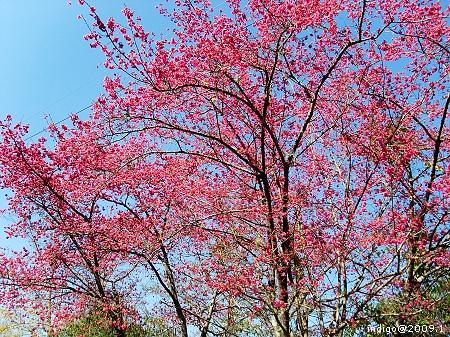 山櫻。全盛