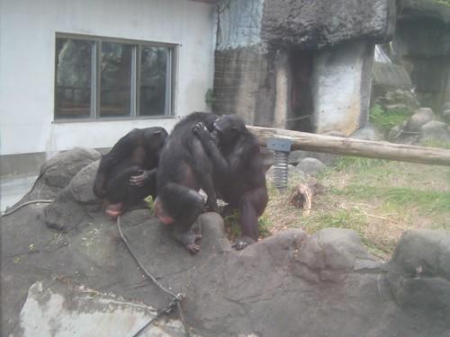 你拍攝的 11猩猩。