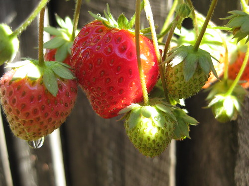 Garden Strawberries