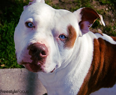Lucas (analogbot) Tags: dog dogs rednose pitbull rednosepitbull brownandwhitedog freestylefocusphotography