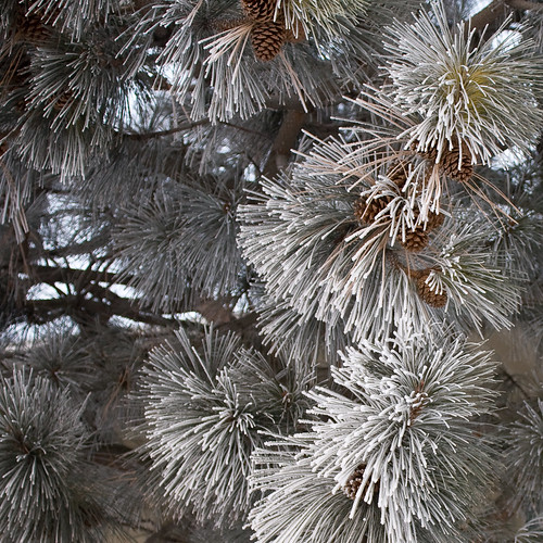 Frosted needles, square crop