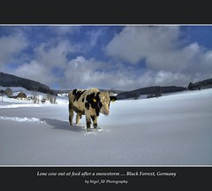 "Lone bull out at feed after a snowstorm ... Black Forrest, Germany (nigel_xf) Tags: nikon d70s nikond70s nigel schwarzwald blackforrest südschwarzwald aplusphoto ""flickraward"" platinumpeaceaward nigelxf"