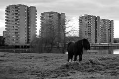 Urban Horse (-AX-) Tags: uk england horse london cheval estate unitedkingdom council housing housingproject housingestate socialhousing thamesmead thamesmeadsouth gallionshousingassociation