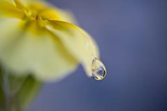 tomorrow my love (CortneyR-) Tags: flower macro water yellow drops bluegrey busyday sigma105mm 2009yip