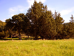 Field with Junipers (egotoagrimi) Tags: tree nature spring flora ikaria aegean greece blogged habitat protection juniper juniperus  myrsonas  juniperusexcelsa