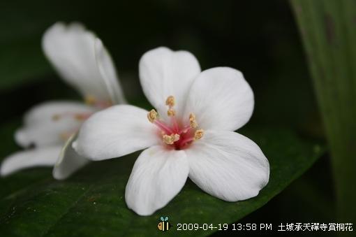 09.04.19 一探土城承天寺桐花花況 (14)