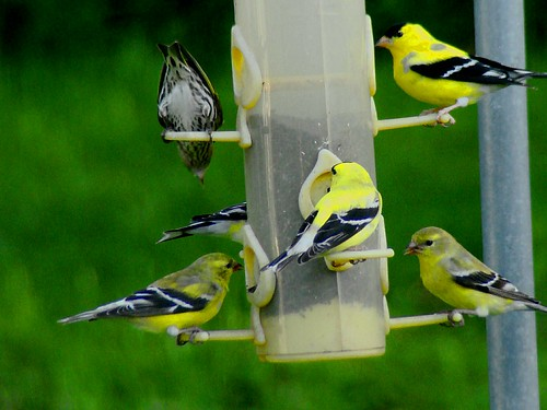 American Goldfinches 4-22-09 004