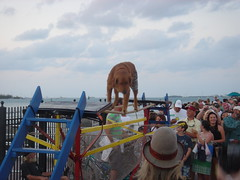 Dog Walking the Tightrope at Mallory Square