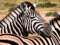 Lazy Zebra (biancapreusker) Tags: africa game animal wildlife stripe safari zebra namibia equusburchelli canonpowershots2 etoscha mywinners thechallengefactory