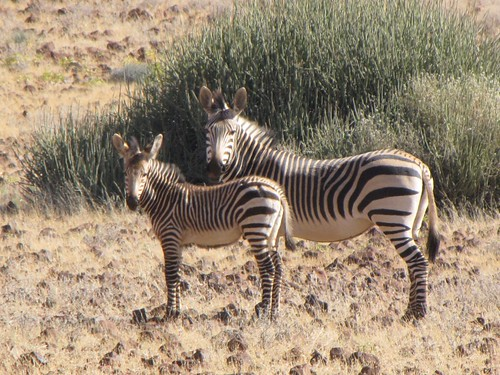 Damaraland: Zebra