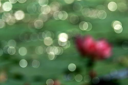 IMG_8336- Lotus