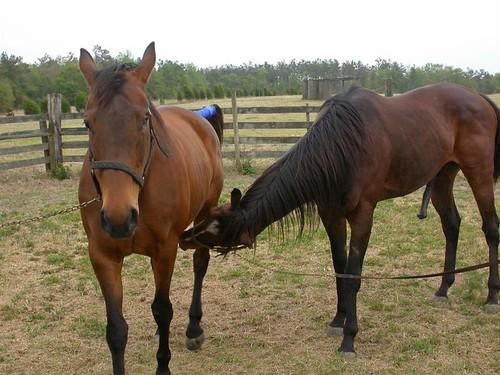 Horses 2004 breeding stallion estrus equine carolina horse mating