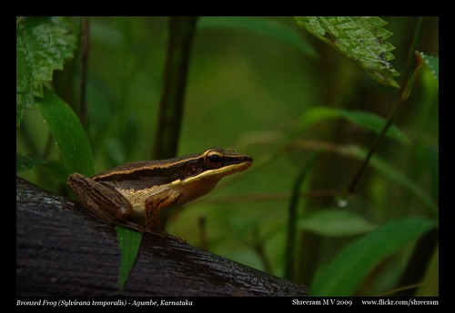 Bronzed Frog (Sylvirana Temporalis)