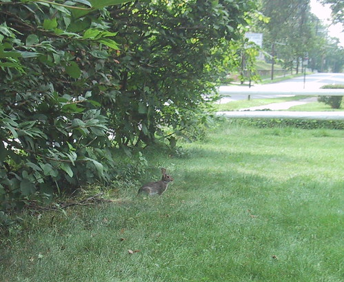 Bunny on Frontlawn by you.