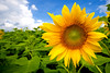 About Face (TheJbot) Tags: sky japan clouds canon colorful chapeau sunflower 日本 jbot sigma1020mm ひまわり 40d thejbot
