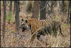 Bokha coming out of the woods (Saran Vaid) Tags: park wild portrait india male nature beautiful beauty face forest cat mammal outdoors golden nationalpark dangerous eyes feline asia glare jeep expression stripes wildlife tiger meadows royal reserve sigma safari exotic national jungle killer beast hunter endangered elegant predator wildcat tala creature habitat majestic powerful carnivorous bengal sanctuary extinct alert spotting animalkingdom carnivore dominant savage sighting bengaltiger madhyapradesh pantheratigris bandhavgarh jeepsafari bandhavgarhnationalpark bokha projecttiger canoneos400d royalbengaltiger tigersighting tigerindia indiatiger sigma150500 vosplusbellesphotos sigma150500mmf563dgoshsm rajbhera