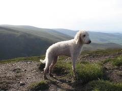 IMG_0140 (Large) (saluqihounds) Tags: scotland angus terrier brandy loch saluki lurcher glens bedlington