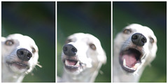 triptych (clerestories) Tags: puppy whippet marzipan pan