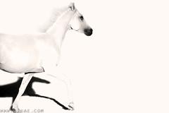 Challenging the Unknown (● Maitha ● Bint ●K●) Tags: bw horse white black high key uae unknown g1 challenge nikonflickraward wwwg1uaecom