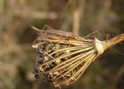 Oecanthus pellucens - Grillon d'italie - Sept 09