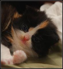 saty (CaraibaJess) Tags: cat chat chaton persan
