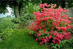 20070602-DSC_2712 (Dick Conrad) Tags: flowers garden others azalea dickconrad flowersvermontgardens
