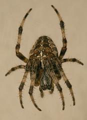 "Garden Cross Spider (Araneus diadema(23) • <a style=""font-size:0.8em;"" href=""http://www.flickr.com/photos/57024565@N00/3937409023/"" target=""_blank"">View on Flickr</a>"