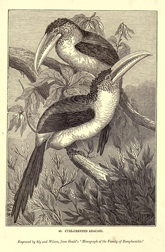 001-Aracari cresta rizada-One hundred and fifty wood cuts, selected from the Penny magazine 1835